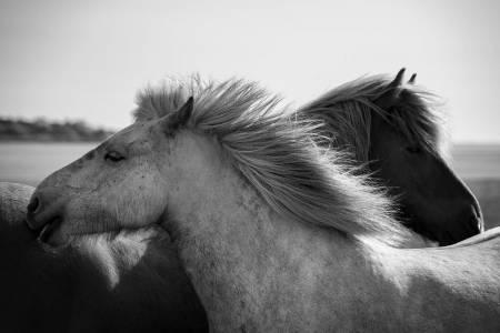 Icelandic Horse Portrait