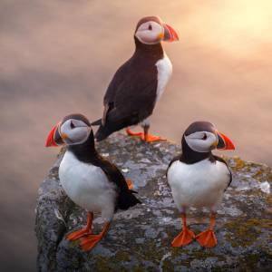 A Puffin Party